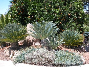 Palms and Cycads for San Diego County Blog