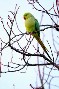 Feral Rose-ringed Parakeet in winter