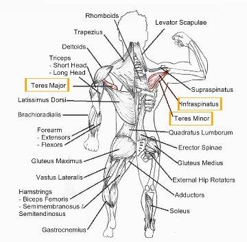 Rotation Anatomy External Rotation Of S...