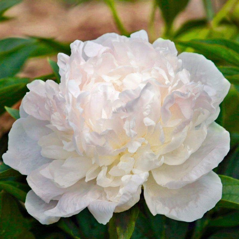 Double Rose Bush